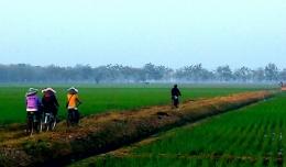 Ilustrasi ke sawah di Subang Jawa Barat (Dokpri)