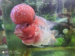 Ikan saya yang selalu bersemangat saat diberi makan, sumber: dokumentasi pribadi