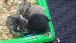 Para hamster sedang lahap makan, sumber: dokumentasi pribadi