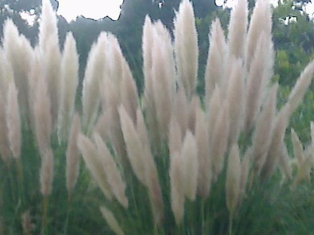ket.foto : bunga Ilalang sesungguhnya tak kalah indah dari tanaman Janda Bolong,tapi karena bisa didapat secara gratis,maka tidak dihargai sama sekali/dokumentasi pribadi