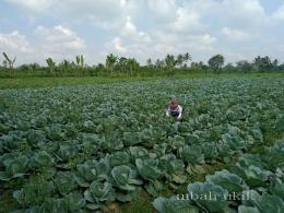 Sekali pun kubis sayur yang rapat obat cair pertanian dan ulat bisa masuk di sela-selanya. Dokpri