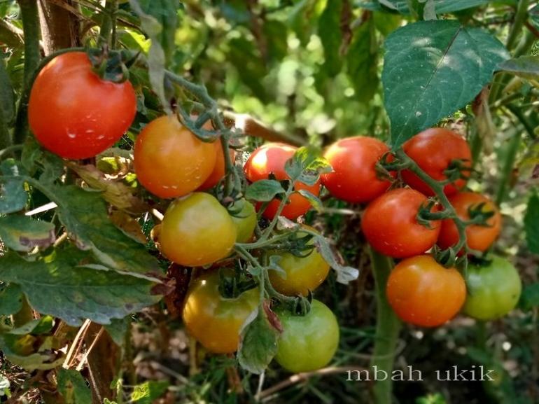 Tomat dengan tanda adanya sisa-sisa pupuk atau pestisida yang masih menempel. Dokpri