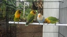 hobi memelihara burung dilakukan sesuai porsinya (tribunyogya.tribunnews.com)