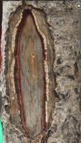 Bagian pohon yang dihubungkan dengan Virgin Mary. Photo:Chad Rachman