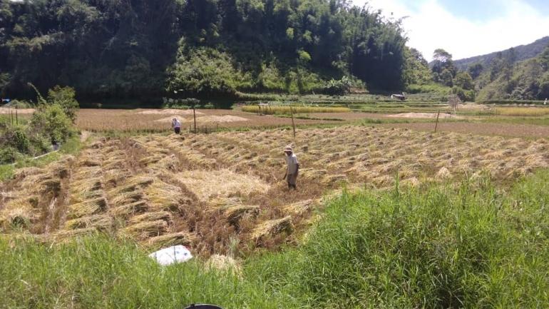 Tumpukan hasil panen padi di lahan sawah, desa Serdang, Kec. Barusjahe, Kab. Karo (Dokumentasi Pribadi)