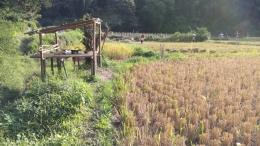 Tumpukan hasil panen padi diangkut dan dikumpulkan ke tengah sawah