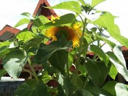 Bunga matahari (Dokumentasi Pribadi)