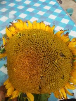 Bunga matahari (Dokpri)