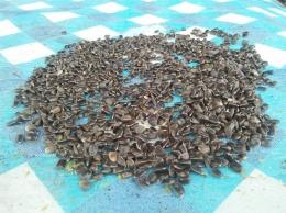 Biji bunga matahari hasil dari proses pemipilan(Dokpri)