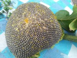 Biji bunga matahari (Dokpri)