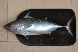 Ikan tongkol (sumber gambar: kurio.id)