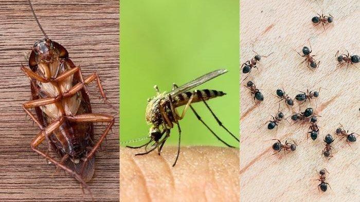 Kecoa, nyamuk, dan semut (Sumber : belitung.tribunnews.com)