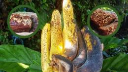 ilustrasi pisang. (Dokumentasi: Kompasianer/Maria G Soemitro)