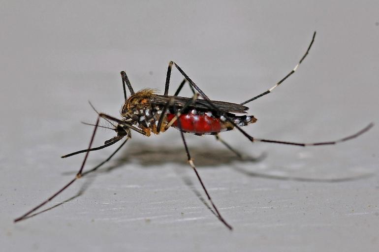 Nyamuk pengganggu tidur (Pixabay.com)