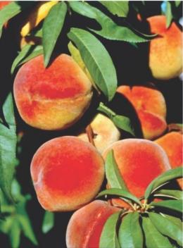 Persik (Prunus persica) matang di pohon. Persik adalah sumber yang baik dari Selenium, vitamin C dan beta-karoten, prekursor vitamin A. Sumber: buku How It Works - Book of the Elements, hlm. 141.