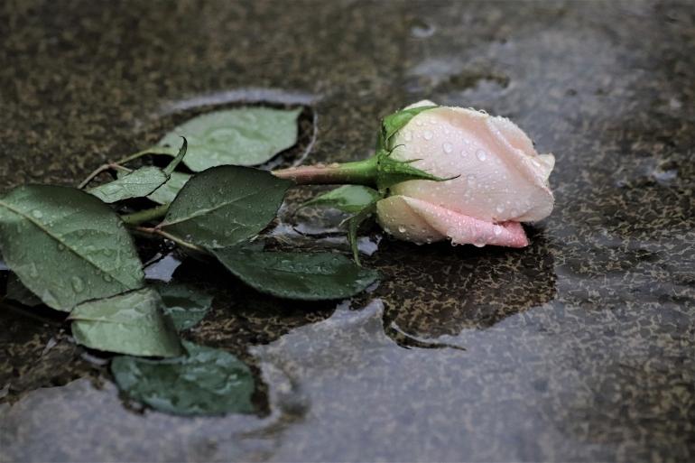 Ilustrasi mawar gugur dalam hujan oleh GoranH dari pixabay.com