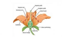 Bagian-bagian yang terdapat pada bunga, yang biasa diajarkan di ruang-ruang kelas. Sumber: kependidikan.com