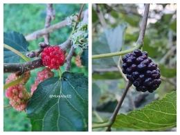 Buah Mulberry (Foto : dokpri MomAbel)
