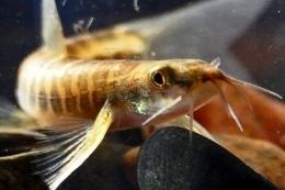 Ikan uceng (Foto: pusluh.kkp.go.id)