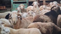 Kambing domba (dokpri)
