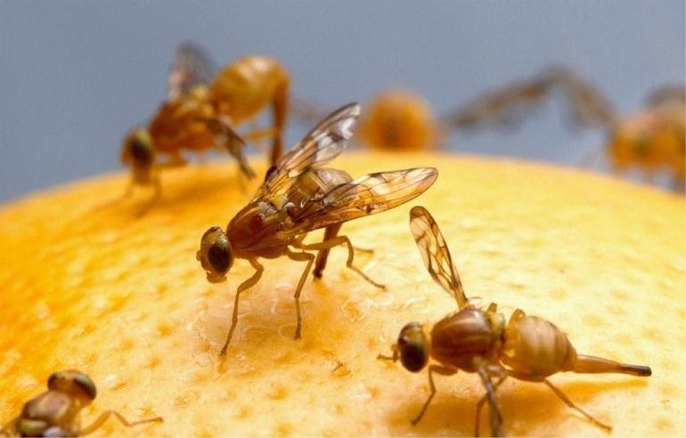 Cara sederhana membasmi lalat buah | foto: pixabay