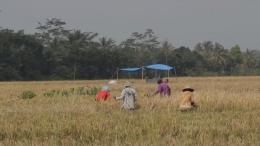 Gambar 1. Kondisi Pertanian Desa Jatirejoyoso pada Masa Panen Padi (DOKPRI)