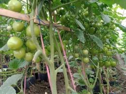 Tomat terdahulu (dokumentasi pribadi)
