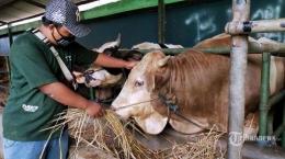 Foto Ilustrasi : TribunNews.com (Ilustrasi hewan yang akan di kurbankan)
