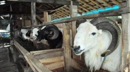 Domba, salah satu hewan kurban di hari raya Idul Adha (sumber : bogor.tribunnews.com)