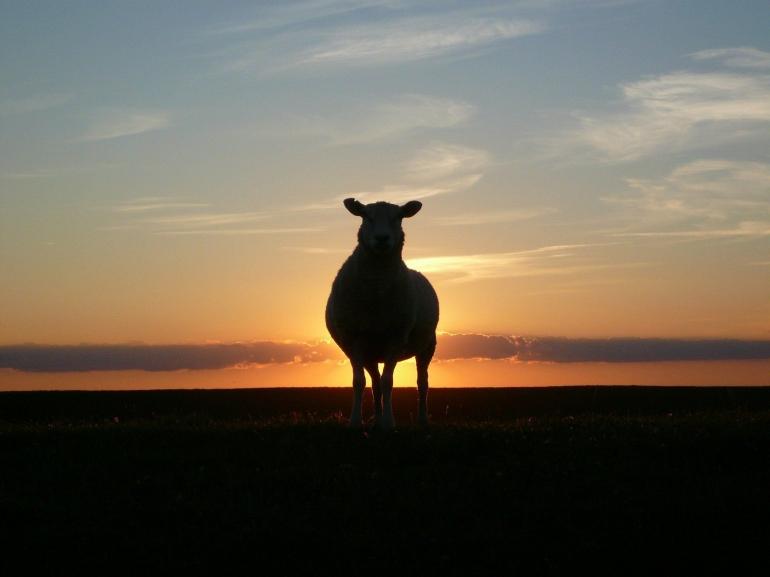 Ilustrasi kambing di sore hari (Foto: Reetdachfan Via Pixabay)