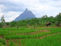 Foto. Dok. Pribadi. Padi Darat Desa Padang, Kec.Merapi Selatan, Lahat