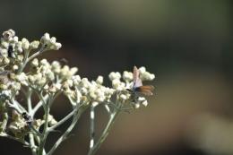 Serangga hinggap di bunga Edelweis di Taman Edelweis, Desa Wisata Edelweis, Desa Wonokitri, Jawa Timur.(Dokumentasi Teguh Wibowo via KOMPAS.COM)