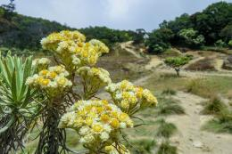 Bunga Edelweis di Gunung Welirang, Jawa Timur.(KOMPAS.com/ANGGARA WIKAN PRASETYA)