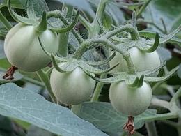Tomat makin membesar dan kuat. (Dokpri)