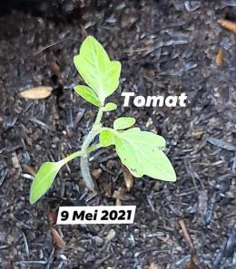 Tanaman tomat yang tumbuh koleksi penulis (dokpri)