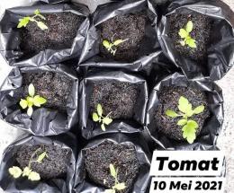 Dokpri tanaman tomat di polybag koleksi penulis