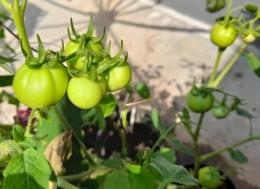 Dokpri tanaman tomat penulis akhirnya berbuah