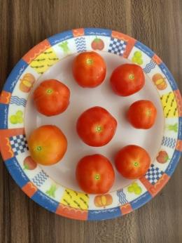 Panen tomat yang pertama (Dokpri adik penulis)