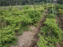 Kebun sayur yang di tanami cabai, foto: DokPri