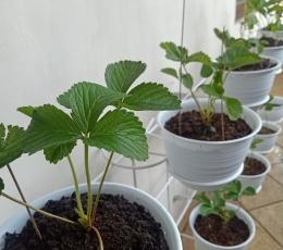 Ilustrasi tanaman strawberry ditaruh di tempat yang banyak angin dan tidak terkena matahari langsung   Dokumentasi pribadi