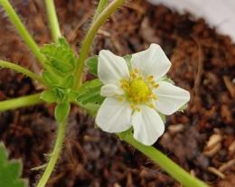 Ilustrasi bunga strawberry   Dokumentasi pribadi