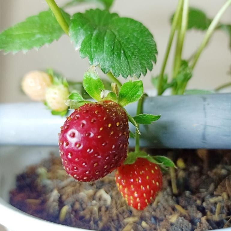 Ilustrasi tanaman strawberry yang sedang berbuah  Dokumentasi pribadi