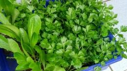 Bibit tanaman cepat tumbuh, selada roman dan seledri (Dokumentasi pribadi)