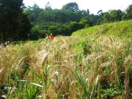 Ceria di ladang gandum (Dokumentasi pribadi)