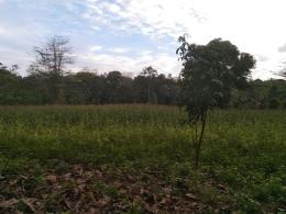 Dokpri: Hamparan hijau jagung kuning
