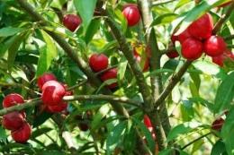 Pohon dan buah mahkota dewa, tanaman obat khas Papua. (Sumber: Satu Harapan Online)