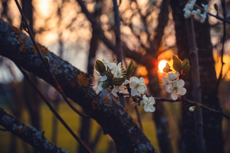Ilustrasi bunga plum sedang mekar, foto oleh Irina Iriser dari Pexels