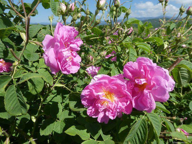 Festival Bunga Mawar (sumber: visitmybulgaria.com)