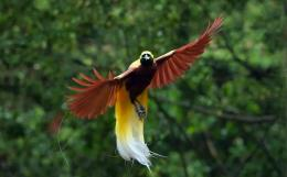 Burung cenderawasih (Sumber: Jenis.net)