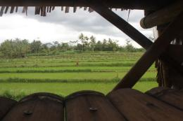 Sawah subur yang ada di dekat Sungai Pabelan (foto: Joko Dwiatmoko)